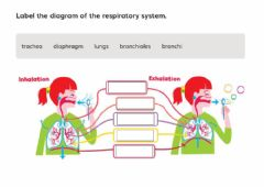 Interactive worksheet Respiratory system 6th