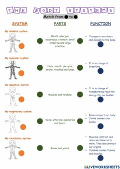 Interactive worksheet The body systems.