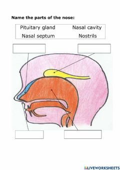 Ficha interactiva Name the parts of the nose