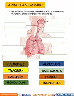 Interactive worksheet Aparato Respiratorio