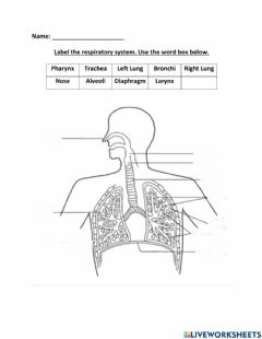 Interactive worksheet Label the Respiratory System