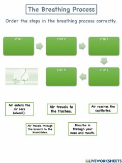 Interactive worksheet The Breathing Process