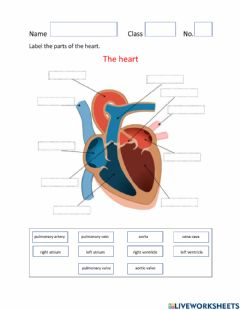 Ficha interactiva Parts of the Heart and Blood Flow